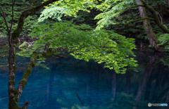 沸壺の池に新緑もみじ