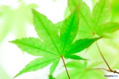 新緑モミジの印象