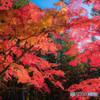 高野の紅葉