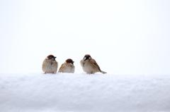 雪原(?)の雀
