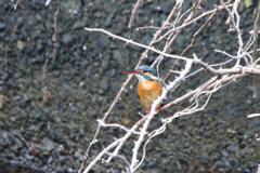 久しぶりの碧い鳥 ⅳ
