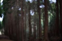 探索途上の杉林 弐