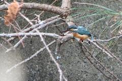 久しぶりの碧い鳥 ⅱ