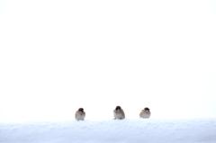 雪原(?)の雀Ⅱ