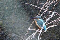 久しぶりの碧い鳥 ⅲ