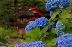 高幡不動金剛寺の紫陽花1