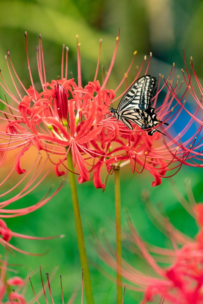 彼岸花とアゲハ蝶②