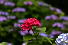 高幡不動金剛寺の紫陽花6
