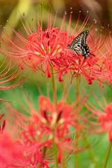 彼岸花とアゲハ蝶①