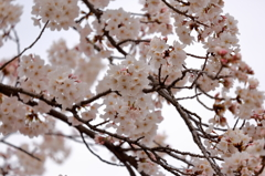 山北桜まつり2
