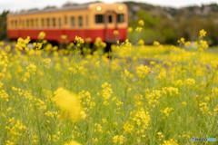 菜の花畑と小湊鉄道③