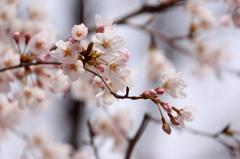 山北桜まつり1