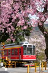 箱根登山の春4