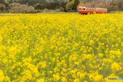 菜の花畑と小湊鉄道④