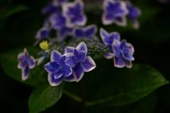 高幡不動金剛寺の紫陽花7