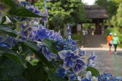 紫陽花と山門