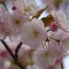 桜(兵庫県立美術館付近)2