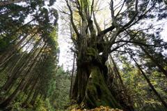 二ツ森の大木