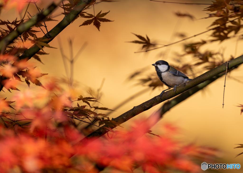 晩秋紅葉と四十雀