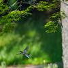 春紅葉とシジュウカラ