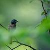 サンコウチョウ若鳥の巣立ち