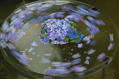 回る紫陽花