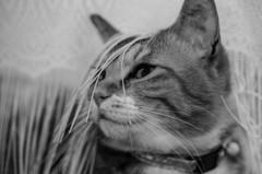 あんにゅい猫