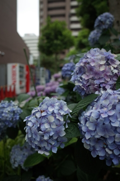 街中の紫陽花