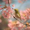 桜のミツ、おいしい!
