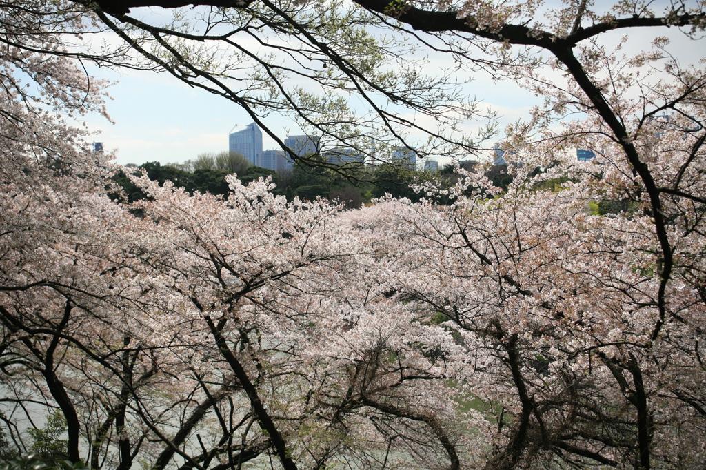 千鳥ヶ淵桜トンネル
