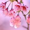 春色 カンヒザクラ