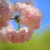 春色さくら