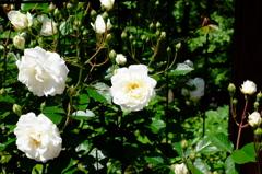 薔薇の季節3