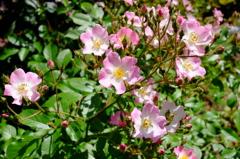 薔薇の季節4