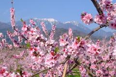 八ヶ岳の桜・桃 1