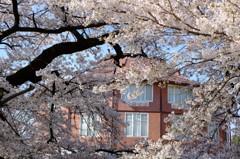 八ヶ岳の桜・桃 3