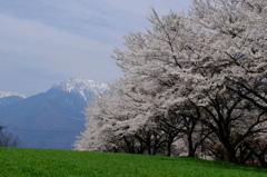 八ヶ岳の桜・桃 6