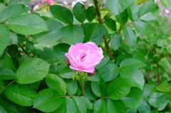 薔薇の季節1