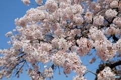 八ヶ岳南麓の桜2016