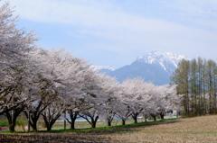 八ヶ岳の桜・桃 5