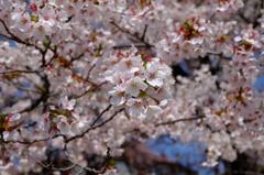 八ヶ岳の桜・桃 4