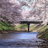 吉野瀬川の桜