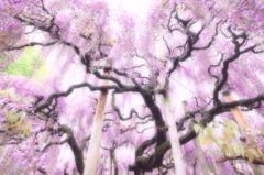 FUJI 「紫雅」
