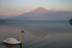 赤富士と白鳥遊泳
