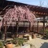 山越うどんの梅の花
