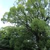 【こんぴらさん】でかい木【香川】