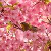 メジロと河津桜④