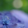 梅雨色~紫陽花①~