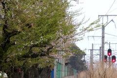 桜木と信号