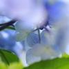 紫陽花 Ⅶ